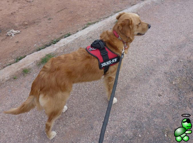 The dogs harness attached to the dog