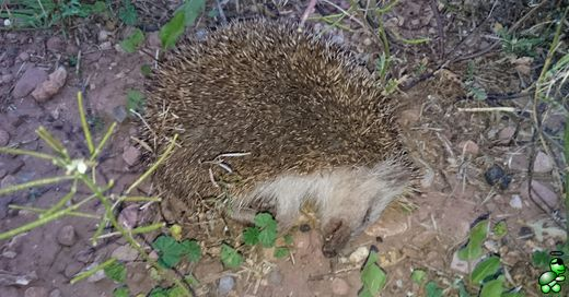 Dead hedgehog. Found on an open field near the orange plantations