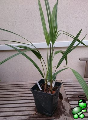 Photo of Chamaerops humilis from my collection (2016-10-09)