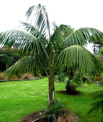 Mature specimen of Howea forsteriana. Photo from www.plantsrescue.com