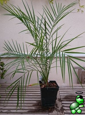 Photo of Phoenix reclinata from my collection (2016-10-09)