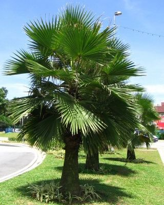 Mature specimen of Brahea Edulis. Photo from www.wctrees.com
